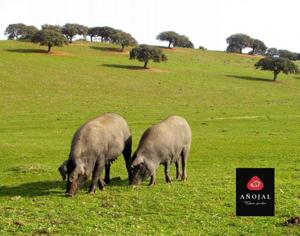 cerdos ibéricos en libertad